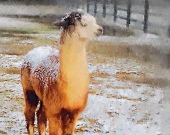 Prime First Quality  Alpaca Fleece 1 pound   Raw - Ci Ci