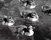 The Optimist  8 x 10 photo Ducklings flock swimming float black and white soft positive sweet childhood duckies