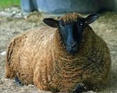 Raw unwashed wool