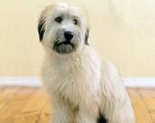 Trixie - Wheaten Terrier, 11 x 14 Archival Pigment Print