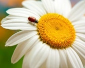 The lady and the daisy 5 x 7 ladybug nature fine art flower garden print