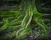 BOGO Sale Deep roots.. great old mossy tree nature photograph by leaping gazelle