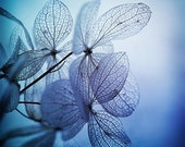 mood indigo... deep blue hydrangea flower photograph with beautiful light and drama - leapinggazelle
