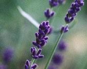 100 English Lavender Seeds