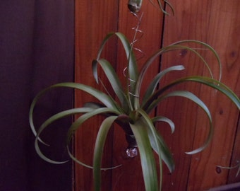 HOME DECOR Three-Tiers of Large Air Plants-- custom handmade hanging sculpture
