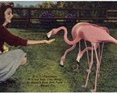 Vintage Florida Postcard - Feeding Flamingos at the Rare Bird Farm, Miami (Unused)