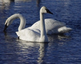 Graceful Swans - Swan Photo - Swan Photographic Print - Nature - White Swans