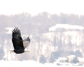 Bald Eagle With Fish - Eagle Photography - American eagle Photo - Nature