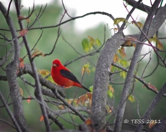 Spring Scarlet Tanager -  5 X 7 Photography Print  - Bird Photography