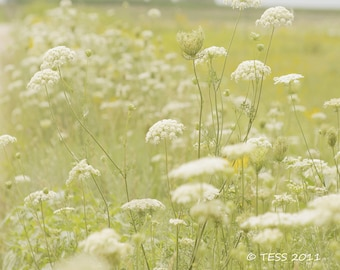 Queen Annes Lace Photography Print  - Back Roads Lace 3 - Botanical Photo - Nature