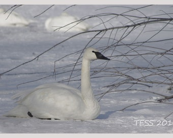 White Swan Photo - Swan Photography - Winter - Nature Photo - Winter Swan