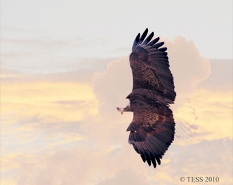 Soaring American Bald Eagle Photo Print - Eagle Photography - Iowa eagle