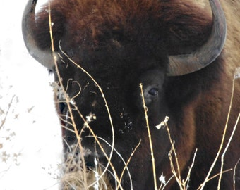 Buffalo Photography   - Wildlife photo - Nature