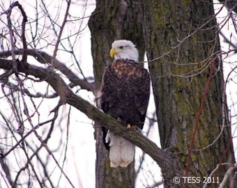 Bald Eagle Photo - Eagle Photography - Wildlife Photo - Nature Photography