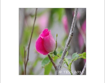 Little Pink Rose - Rose Photographic Print - Rose Photography - Mothers Day