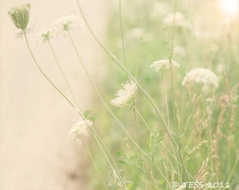 Queen Annes Lace 2 - Wildflower Botanical Photography Print - Botanical - Shabby Chic