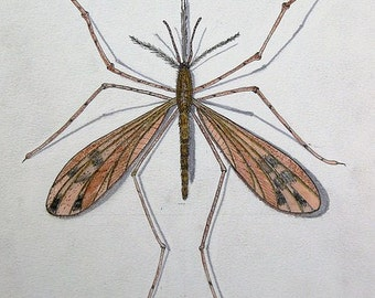 9 x 12 Inch Mosquito Illustration