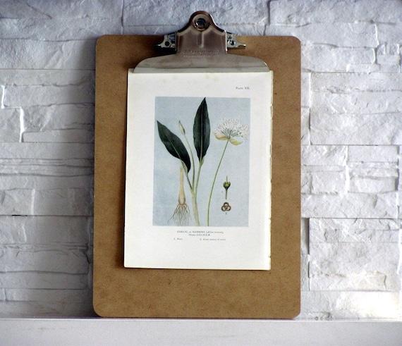 Garlic, Antique English Print