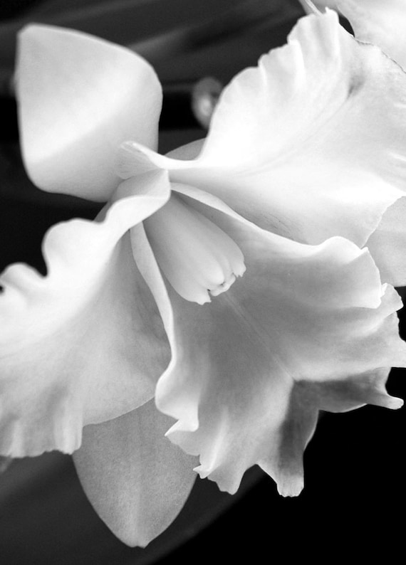 Items similar to Black and White Orchid-Cattleya Orchid ...