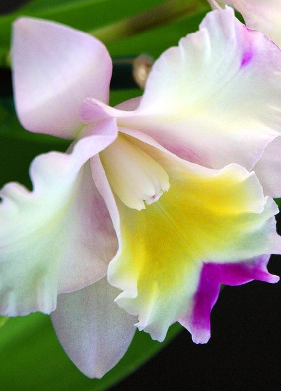 White Orchid-Cattleya Orchid- Tropical Flower- Fine Art Photography-Macro Flower Photography