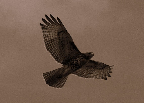 Freedom -ACEO sepia photo Red-Tailed Hawk