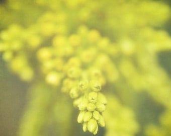 Lemon Merigue - 5 x 5 Fine Art Photograph - yellow green spring summer nature flower floral fresh home decor print