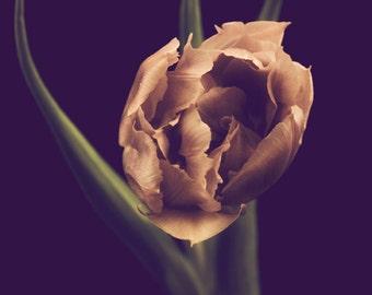 The Tulips III - 8 x 12 Fine Art Photograph - dramatic pink green black flower floral modern home decor print