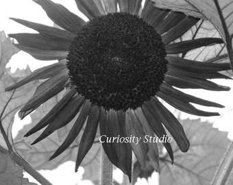 SUNFLOWER Fine Art Photography Print
