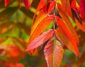 Fall leaves sumac foliage photograph 8x10 print - Blazing
