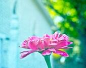 Zinnia pink flower 8x10 art print - Sunday Best