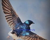 Little Feet Tree Swallow spring deco spring blue feathers feathers feathered friends swallow love spring fly with me Fine Art Print 8x8