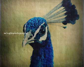 Peekaboo.. I see you Peacock Colorful feathers Exotic colors turquoise blue peacock eyes home decoration love feathers Fine Art Print 8x8