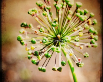 TTV Fireworks - Before Passion nursery winter christmas gift idea Flower Buds Afternoon delight Ready to flower Spring Fine Art