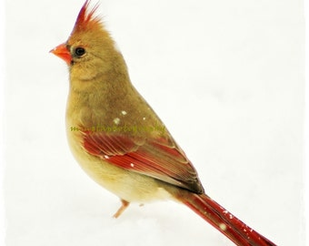 Smile - Original Female Cardinal In Snow Winter decoration First snow Snow white Bird decoration Nature Winter deco color photography
