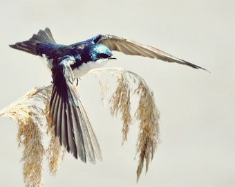 Taking off - Tree Swallow - earthy tone Tree Swallow in Flight Navy blue feathered friends swallow fly with me spring color photography