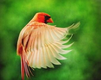 Cardinal in Flight -  Male Cardinal flying Birdy Nature decoration Love nature Birder nursery decor Fine Art Print 8x8