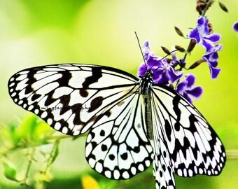 Idea leuconoe clara  Butterfly Spring green st patrick day decor spring green butterfly love green gift Love real nature gift Fine Art Print