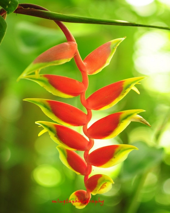 Heliconia pendula inflorescence - Heliconia / Red and green Exotic flower Vacation on the tropic island Fine Art Print 16x20 Limited 1/50