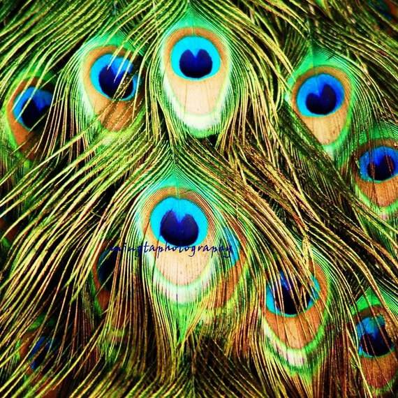 Peacock Eyes - turquoise Peacock blue feathers Blue for her love bird gift Valentine day gift emerald green spring decor Fine Art Print 8x8