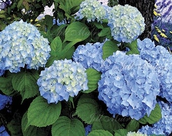 Blue Hydrangea 1 - 11x14 Mat