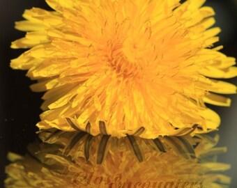 "Dandelion:  Reflections  - Fine Art Photograph Print 8""x12"" - Garden Photography Home Decor Wall Art Office Garden Room"
