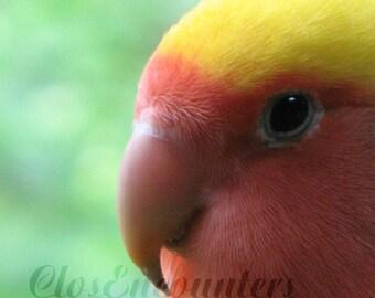 Love Bird - Peach Face - Bird Portrait Fine Art Photography Print - Home Decor Wall Art for Pet Bird Lover Nursery Kids Room