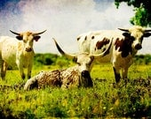 Texas Longhorns - Fine Art Photo