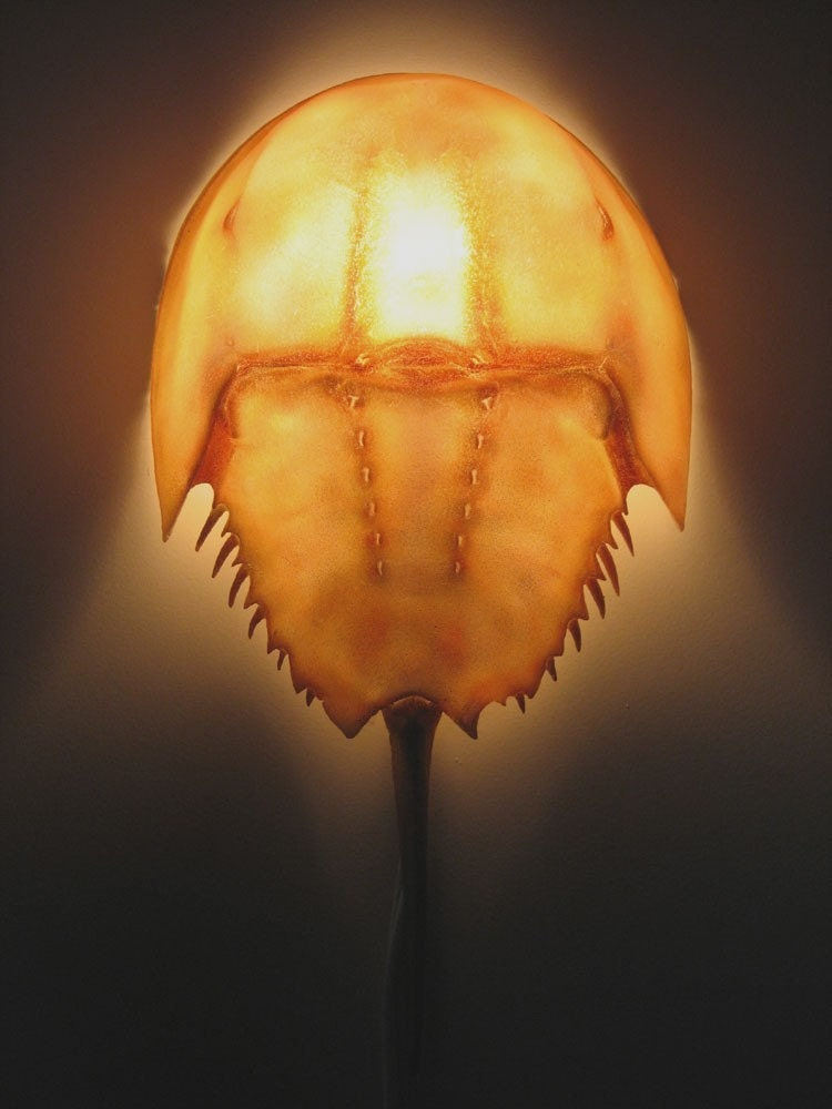 Horseshoe Crab Without Shell Horseshoe Crab Wall Sconce
