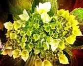 gorgeous green hydrangea flower close up before bloom 8x8 square fine art print