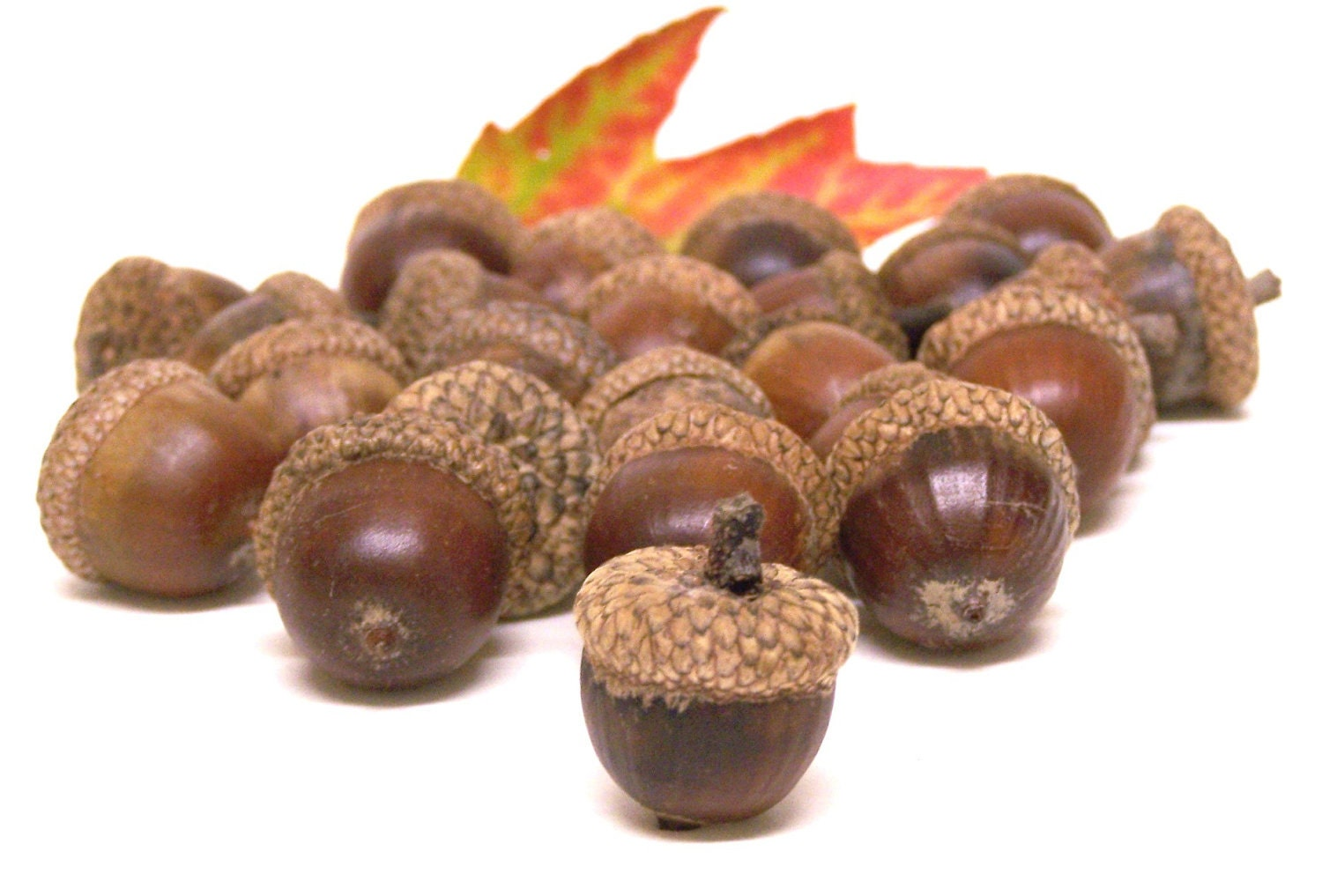 real acorns images galleries with a bite