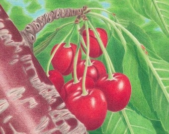 ACEO Print Tempting Cherries in My Tree Colored Pencil Drawing