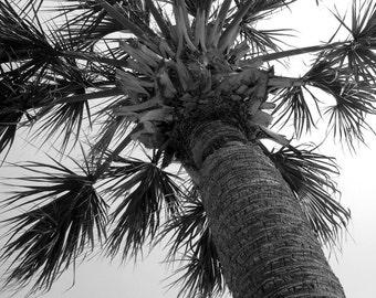 Palmetto Fireworks - Tree SC South Carolina Photography Black and White Tropical Palm Island Fine Art Print - 8x10 Photograph