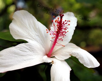 Aloha - 5x7 Photograph - HIbiscus White Pink Red Flower Hawaii Fine Art Home Decor Wall Hanging