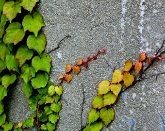 Photograph Green Autumn Climbing Ivy Red Yellow Orange Accent Color Leaves on Gray Massachusetts Vertical Nature Wall Art Print Home Decor